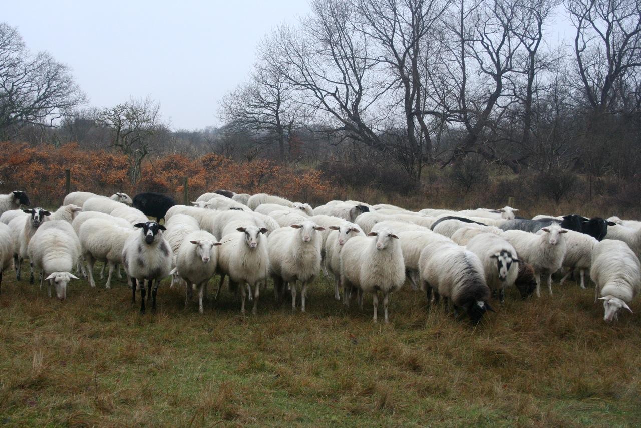 Rondtrekkende kudde, Staatsbosbeheer Zuid Oost Friesland.