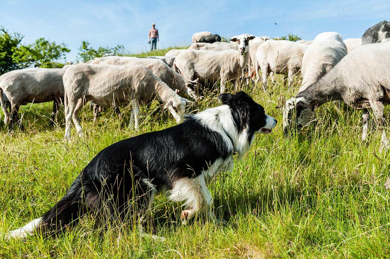 bordercollie voor schaapherder van Natuurlijk Beheer gezocht