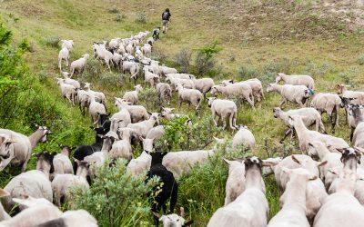 Vacature-schaapherder-gezocht-voor-Natuurlijk-Beheer