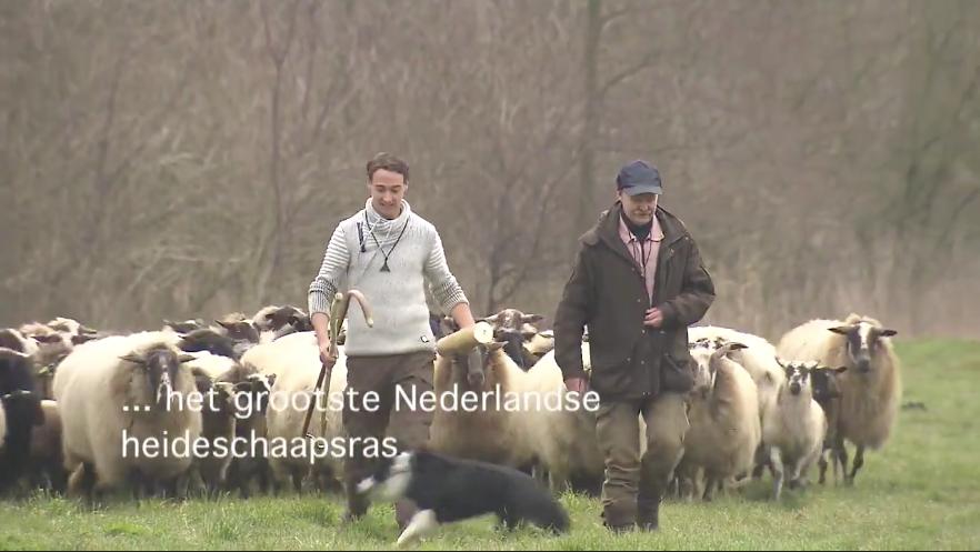 Schaapskudde met lammetjes arriveren in Almere